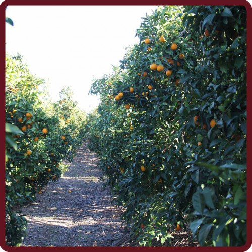 Naranjas de mesa 10 kg - Naranjas del arbol a la mesa ...