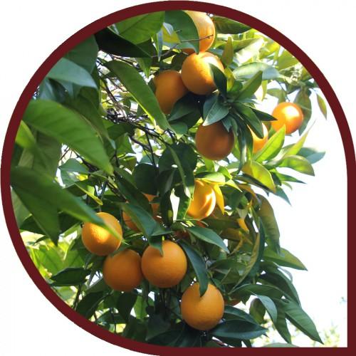 Naranjas de mesa 10 kg 10 kg - Naranjas del arbol a la mesa ...