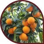Naranjas de Zumo 10 Kg + 10 Kg